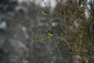 Småfuglene holder utkikk før de flyr til fôret.