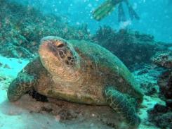 Stor turtle